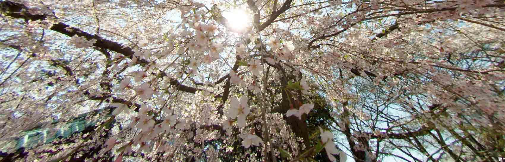 360度カメラの画像でバーチャルお花見